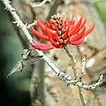 Hummingbird at the coral tree (33358445634).jpg
