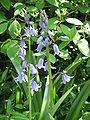 Hyacinthoides hispanica001.jpg