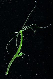 <i>Hydra viridissima</i>