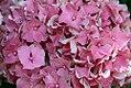 Hydrangea macrophylla Masja 1zz.jpg