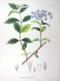 Hydrangea macrophylla SZ58.png