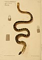 Hydrophis Grassicollis Poisonous snakes of India sketched by Joseph Ewart.jpg