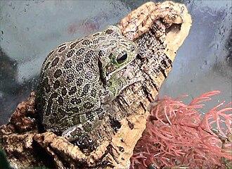 Hyla - Barking tree frog, Hyla gratiosa