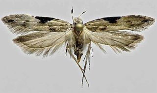 <i>Hypatima</i> Genus of moths