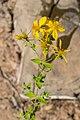 Hypericum maculatum in Chablais (3).jpg