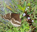 Hypolimnas bolina - Great Eggfly at Thillankeri 12.JPG
