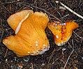 Hypomyces lactifluorum (33383198385).jpg