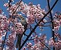 Hypsipetes amaurotis on Sakura.JPG
