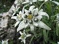 Iced Flower (59916060).jpeg
