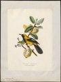 Icterus xanthornus - 1700-1880 - Print - Iconographia Zoologica - Special Collections University of Amsterdam - UBA01 IZ15800201.tif