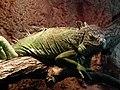 Iguana Iguana, Bydgoszcz ZOO.jpg