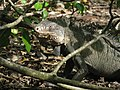Iguana delicatissima dans des branches.JPG