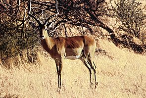 Männliche Impala