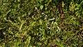 Impatiens scabriuscula B.Heyne ex Wall. (31082000465).jpg