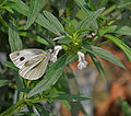 Indian Cabbage White (Pieris canidia) on Leucas sp. at Jayanti, Duars, West Bengal W Picture 293.jpg