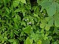 Indian Wishbone Flower (6049038999).jpg