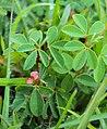 Indigofera trifoliata 03.JPG