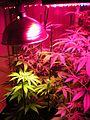 Indoor hybrid medical cannabis Gro1.jpg