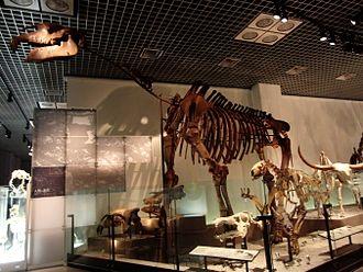 Paraceratherium - Skeleton cast of P. transouralicum, National Museum of Nature and Science, Tokyo