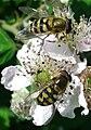 Insectes sur fleur butineur Helophilus.jpg