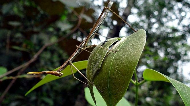 Insecto palo - Roboré.jpg