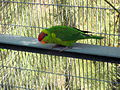 Iris Lorikeet (Psitteuteles iris) -on shelf in cage.jpg