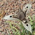 Iris helena-IMG 2212.jpg