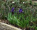 Iris lutescens campbellii - Flickr - peganum.jpg