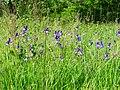Iris sibirica Pohreby1.jpg