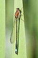 Ischnura elegans 13(loz).jpg