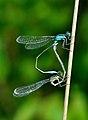 Ischnura elegans qtl3.jpg
