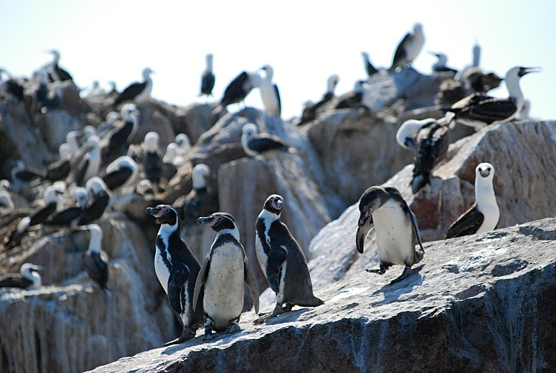 File:Islas Ballestas - tučňáci - panoramio.jpg