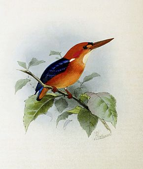 Ispidina lecontei by Keulemans (corrected).jpg