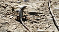 Israel. Lizard (15625546959).jpg