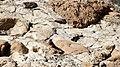 Israel. Striolated bunting (15358948883).jpg