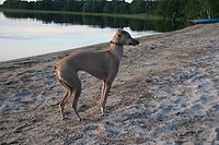 Italian Greyhound Isabella.jpg