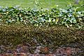 Ivy and moss covered churchyard brick wall at Boreham, Essex, England.jpg