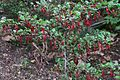J20160303-0180—Ribes speciosum—RPBG (25363837422).jpg