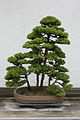 Japanese Cedar (Cryptomeria japonica) (3505588924).jpg