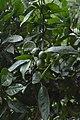 Jardim Botânico da Madeira DSC 0324 (14697548684).jpg