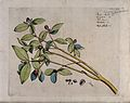 Jasmine (Jasminum species); branch with flowers and fruit an Wellcome V0042677.jpg
