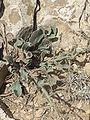 Judean Desert IMG 1843.JPG