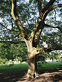 Juglans ailantifolia JPG1T.jpg