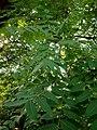 Juglans nigra 10.jpg