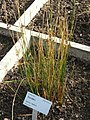 Juncus balticus - Oslo botanical garden - IMG 8915.jpg