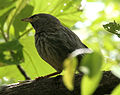 Jungle Babbler (Turdoides striatus) W IMG 0172.jpg