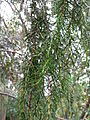 Juniperus cedrus 01 leaves 2 by Line1.jpg