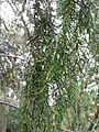 Juniperus cedrus 01 leaves 2 by Line1.jpg