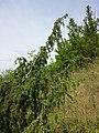 Juniperus communis subsp. communis sl5.jpg
