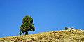 Juniperus excelsa - Grecian juniper 01.jpg
